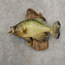 Black Crappie Taxidermy Fish Mount #20929 For Sale @ The Taxidermy Store