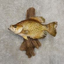 Black Crappie Taxidermy Fish Mount #20932 For Sale @ The Taxidermy Store
