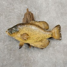 Black Crappie Taxidermy Fish Mount #20934 For Sale @ The Taxidermy Store