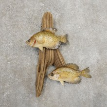 Black Crappie Taxidermy Fish Mount #20936 For Sale @ The Taxidermy Store