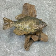 Black Crappie Taxidermy Fish Mount #22566 For Sale @ The Taxidermy Store