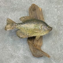 Black Crappie Taxidermy Fish Mount #22568 For Sale @ The Taxidermy Store