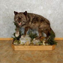Black Alaskan Wolf Mount For Sale #17593 @ The Taxidermy Store