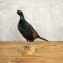 Black Pheasant Bird Mount For Sale #20625 @ The Taxidermy Store