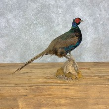 Black Pheasant Bird Mount For Sale #23308 @ The Taxidermy Store