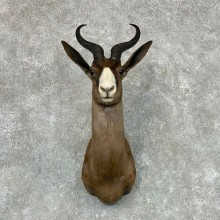 Black Springbok Taxidermy Shoulder Mount For Sale