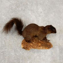 Black Squirrel Life-Size Mount For Sale #20597 @ The Taxidermy Store