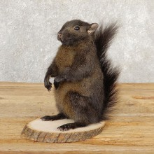 Black Squirrel Life-Size Mount For Sale #20815 @ The Taxidermy Store
