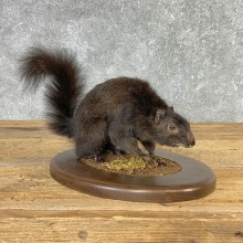 Black Squirrel Life-Size Mount For Sale #21314 @ The Taxidermy Store