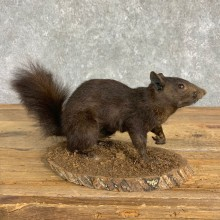 Black Squirrel Life-Size Mount For Sale #22840 @ The Taxidermy Store