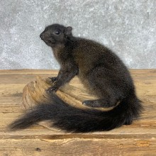 Black Squirrel Life-Size Mount For Sale #22942 @ The Taxidermy Store