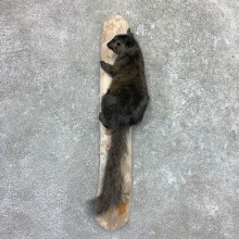 Black Squirrel Life-Size Mount For Sale #22990 @ The Taxidermy Store
