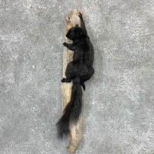 Black Squirrel Life-Size Mount For Sale #23022 @ The Taxidermy Store