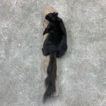 Black Squirrel Life-Size Mount For Sale #23025 @ The Taxidermy Store