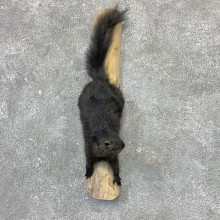 Black Squirrel Life-Size Mount For Sale #23028 @ The Taxidermy Store