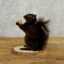 Black Squirrel Mount For Sale #17105 @ The Taxidermy Store