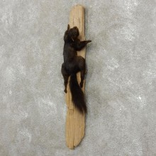 Black Squirrel Life-Size Mount For Sale #17412 @ The Taxidermy Store