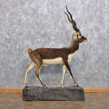 India Blackbuck Life-Size Taxidermy Mount For Sale