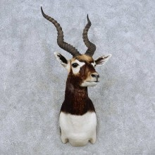 India Blackbuck Shoulder Mount For Sale #14329 @ The Taxidermy Store