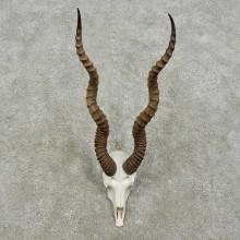 Blackbuck Skull & Horn European Mount For Sale #15843 @ The Taxidermy Store
