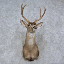 Black-tailed Deer Shoulder Mount For Sale #15756 @ The Taxidermy Store