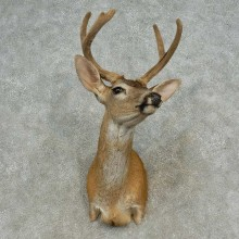 Sitka Deer Shoulder Mount For Sale #16646 @ The Taxidermy Store