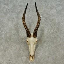 Blesbok Skull & Horn European Mount For Sale #16199 @ The Taxidermy Store