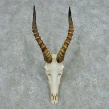 Blesbok Skull Horns European Mount #13648 For Sale @ The Taxidermy Store