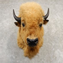 Blonde Phase American Buffalo Taxidermy Shoulder Mount For Sale