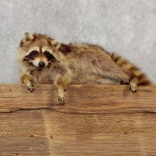 Blonde Raccoon Life-Size Mount For Sale #19281 @ The Taxidermy Store