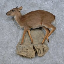 Blue Duiker Life-Size Taxidermy Mount For Sale
