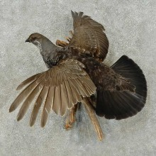 Blue Grouse Bird Mount For Sale #16274 @ The Taxidermy Store