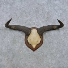 Blue Wildebeest Skull European Mount For Sale #14927 @ The Taxidermy Store