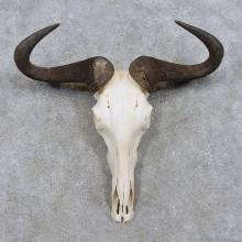 Blue Wildebeest Skull European Mount For Sale #15717 @ The Taxidermy Store