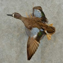 Blue Winged Teal Duck Taxidermy Bird Mount For Sale