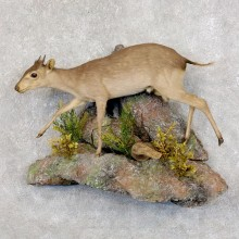 Blue Duiker Life-Size Mount For Sale #22582 @ The Taxidermy Store