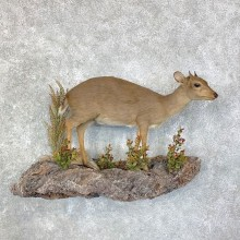 Blue Duiker Life-Size Mount For Sale #22855 @ The Taxidermy Store