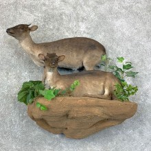 Blue Duiker Pair Life-Size Mount For Sale #22852 @ The Taxidermy Store