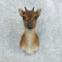 Blue Duiker Shoulder Mount For Sale #18452 @ The Taxidermy Store