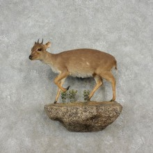 Blue Duiker Life-Size Mount For Sale #17353 @ The Taxidermy Store