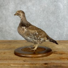 Blue Grouse Bird Mount For Sale #18362 @ The Taxidermy Store