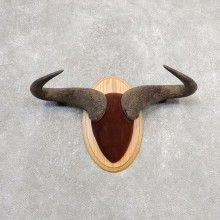 Blue Wildebeest Plaque Taxidermy Mount #21103 For Sale @ The Taxidermy Store