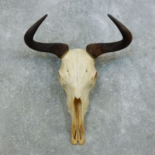 Blue Wildebeest Skull Horns European Mount #18447 For Sale @ The Taxidermy Store