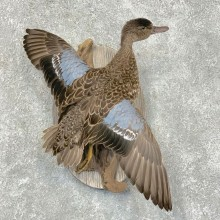 Blue Winged Teal Hen Duck Taxidermy Bird Mount For Sale