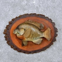 Bluegill Fish Mount For Sale #14222 @ The Taxidermy Store