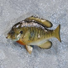 Bluegill Fish Mount #10194 For Sale @ The Taxidermy Store
