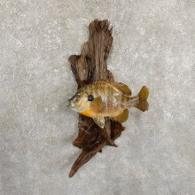 Bluegill Taxidermy Fish Mount #19713 For Sale @ The Taxidermy Store
