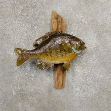 Bluegill Taxidermy Fish Mount #20587 For Sale @ The Taxidermy Store