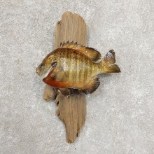 Bluegill Taxidermy Fish Mount #20910 For Sale @ The Taxidermy Store