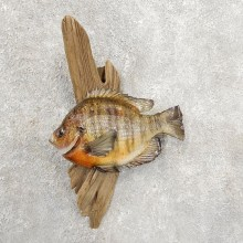 Bluegill Taxidermy Fish Mount #20911 For Sale @ The Taxidermy Store
